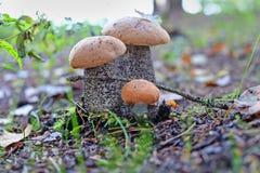 Mushroom orange-cap boletus in  forest Stock Photo