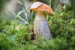 Mushroom an orange-cap boletus grew in summer in forest. Focus  concep Royalty Free Stock Photography