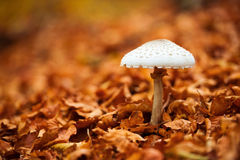 Mushroom over a carpet of leaves Royalty Free Stock Photos