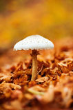 Mushroom over of carpet of leaves Stock Images