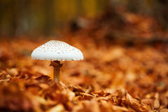 Mushroom over of carpet of leaves Stock Photos