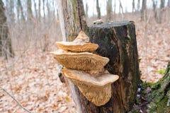 Mushroom parasite on the tree stock image