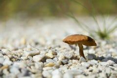 Mushroom on pebble. Brown mushroom growing on pebble stones Royalty Free Stock Photo