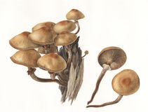 Mushroom Pholiota mutabilis / Hand painted  Royalty Free Stock Image