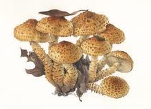 Mushroom Pholiota scuarrosa / Hand painted  Stock Photos