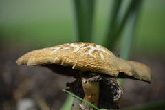 Mushroom. A photograph of a peculiar mushroom on a university campus royalty free stock images