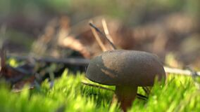 A mushroom picker cuts a mushroom with a knife in the forest. Collect mushrooms in autumn. A forester on a quiet hunt