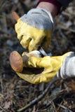 Mushroom picking Royalty Free Stock Photos