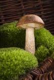 Mushroom picking. Stock Photo