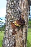 Mushroom on Pine forest Stock Images