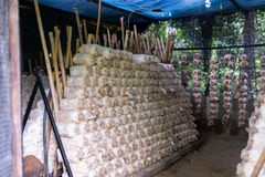 Mushroom plantation Stock Image