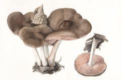 Mushroom Pluteus atricapillus / Hand painted  Stock Image