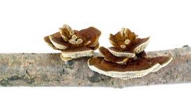 Mushroom Polypore Royalty Free Stock Image