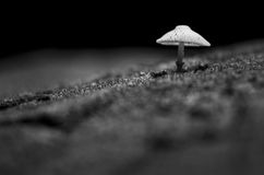 Mushroom pops out of the ground naturally., Black and white colo Royalty Free Stock Image