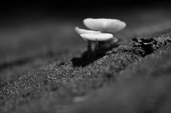 Mushroom pops out of the ground naturally., Black and white colo Royalty Free Stock Photos