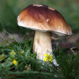 Mushroom, Porcini Stock Photo