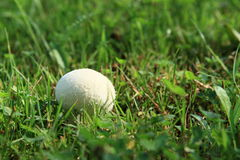 Mushroom - puff-ball Stock Images