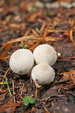 Mushroom a puffball Stock Image
