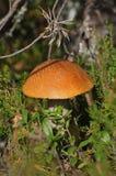 Mushroom, Red Cap, Leccinum Stock Image