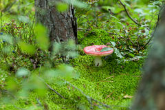 Mushroom with a red hat. Red-speckled Mushroom growing in the forest on a green grass Stock Photo