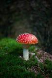 Mushroom red toadstool. Mushroom Amanita muscaria - red toadstool Stock Image