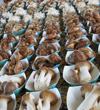 Mushroom rows larger dof Royalty Free Stock Image