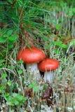 Mushroom a russula Stock Photos