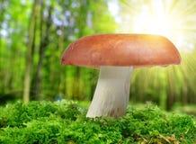 Mushroom Russula Royalty Free Stock Images