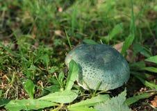 Mushroom - russula green Royalty Free Stock Image