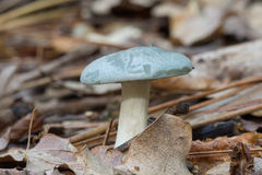 Mushroom Russula virescens Royalty Free Stock Image