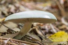 Mushroom Russula virescens Royalty Free Stock Image