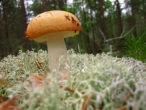 The mushroom Russula with yellow hat Royalty Free Stock Image