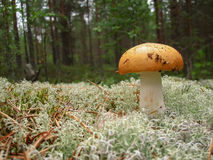 The mushroom Russula with yellow hat Royalty Free Stock Photo