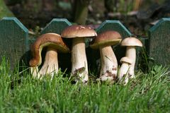 Mushroom's family Royalty Free Stock Photography