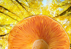 Mushroom a saffron milk cap Royalty Free Stock Photos