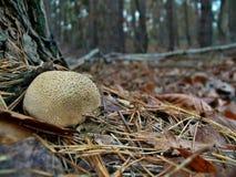 Mushroom Scleroderma citrinum Stock Image