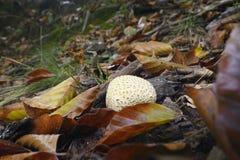 Mushroom, Scleroderma citrinum Royalty Free Stock Image