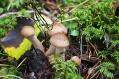 Mushroom shaggy scalycap, Pholiota squarrosa. royalty free stock image