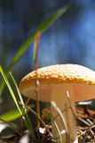Mushroom. Shot from a low angle against blurred blue background Stock Image