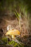 Mushroom and snail Royalty Free Stock Images