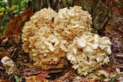Mushroom Sparassis crispa Royalty Free Stock Images