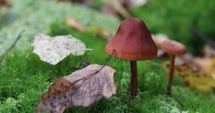 A mushroom stands in green moss in the forest. Autumn leaves fall to the ground.  stock footage