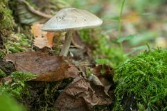 Mushroom on strain in the forest Stock Images