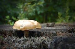 Mushroom on stump. Mushroom growing on an old oak stump Stock Photo
