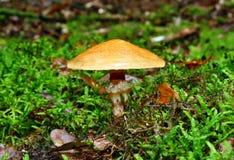 Mushroom suillus grevillei Stock Photo