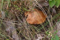 Mushroom Suillus hid in the grass.  royalty free stock photography