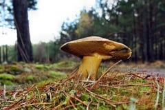 Mushroom suillus variegatus Stock Photos