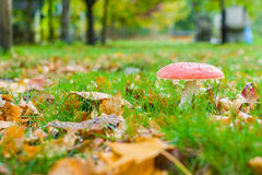 Mushroom surrounded by leaves in the forest. In the right side, a mushroom, in the left side, a trail of brown dry leaves and all the scene with green grass Royalty Free Stock Photography