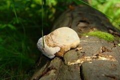 Mushroom tinder fungus Stock Image