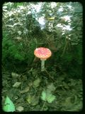 Mushroom. Toadstool in the forest Royalty Free Stock Photography